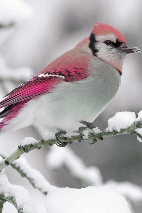 Pinky birdy in snow! which kind, I dunno!?