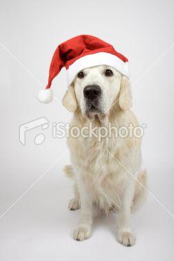 Golden #Labrador in Santa Hat #Postcard