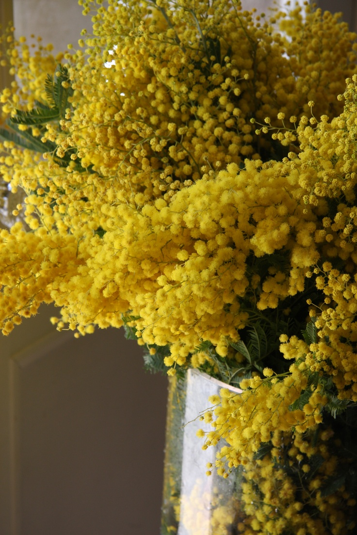 silver wattle for women's day! 8 march, women, flower, mimosa