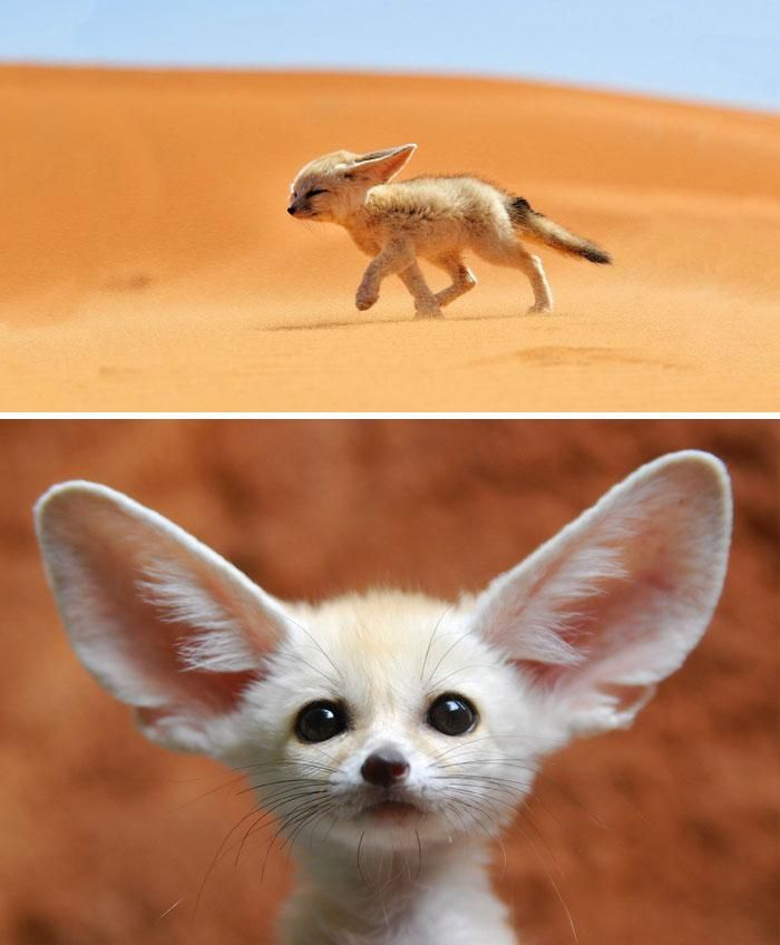Baby Fennec Fox With Ears Larger Than Life Animals Rare Animals Baby Animals