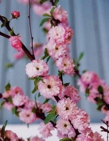 Flowering Almond – 7'x7'