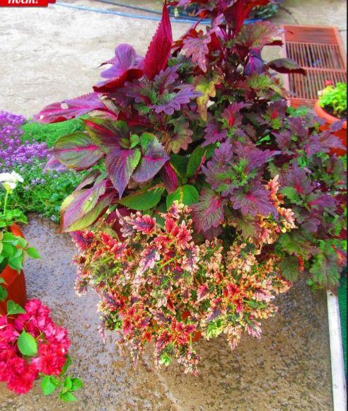 Цветы в горшках и подвесных корзинах - 3 | Страница 76 | Форум - FORUMHOUSE
