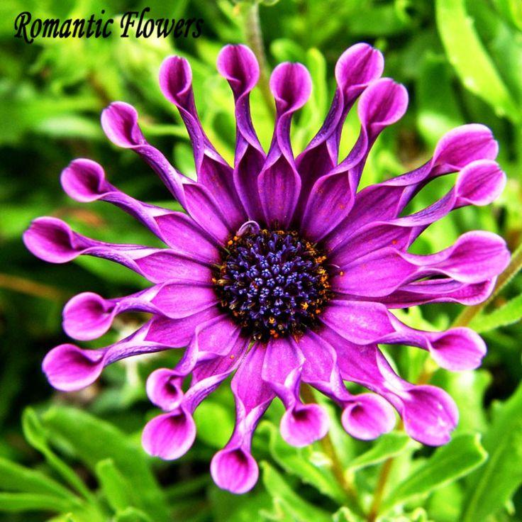 O Envio gratuito de 50 painéis de Partículas/Saco Osteospermum Plantas Resistentes Sementes Da Margarida Azul Sementes de Flores Ornamentais Exóticas Flores(China (Mainland))