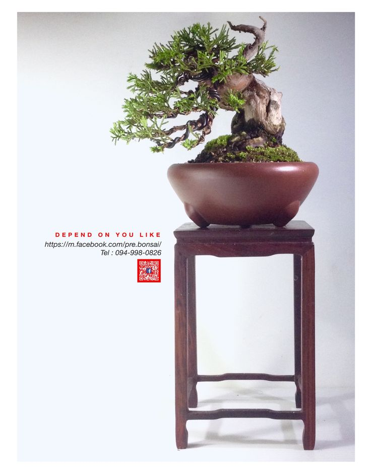 Itoigawa Shimpaku Shohin size https://m.facebook.com/pre.bonsai/