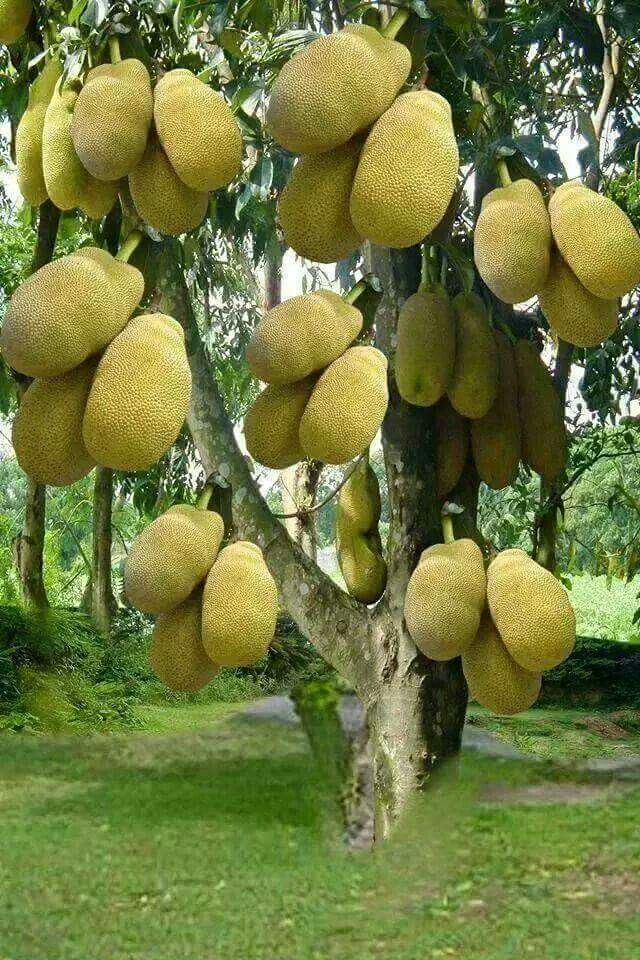 *Bob Marley* Jamaica, his cradle, his home island, his yard, and the birthplace of reggae. Jackfruit. More fantastic pictures and videos of *Bob Marley* on: https://de.pinterest.com/ReggaeHeart/