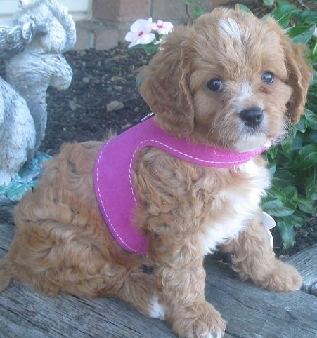 Puppies for sale Cavapoos ** Poochons, BichPoos