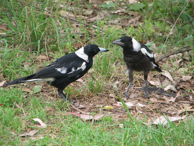 A nice pair of Magpie's in Lane Cove River Park in Sydney