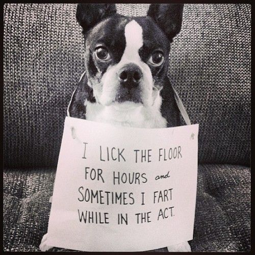 The story of a Boston terrier household.