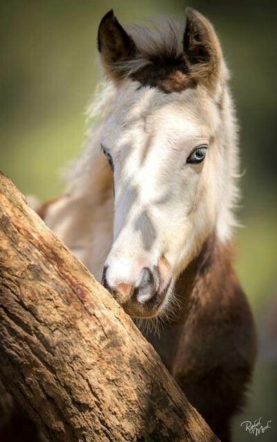 Image result for foal with blue eyes