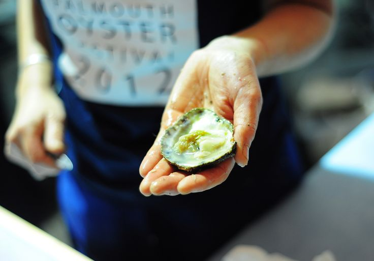 Native Fal Oyster shucked at the annual Falmouth Oyster Festival #falmouth #oyster