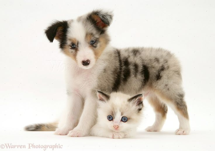 pictures of playful kittens | Pets: Sheltie pup and playful kitten photo - WP17335
