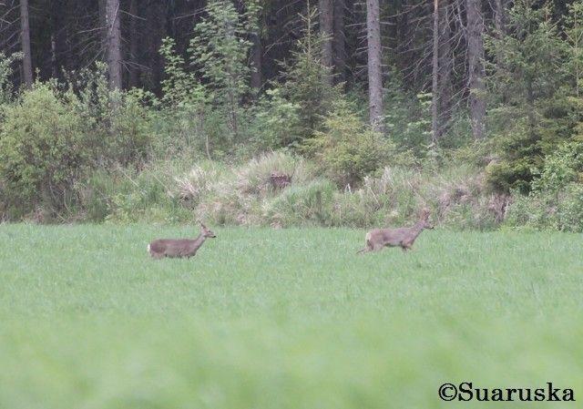 Metsäkauriita