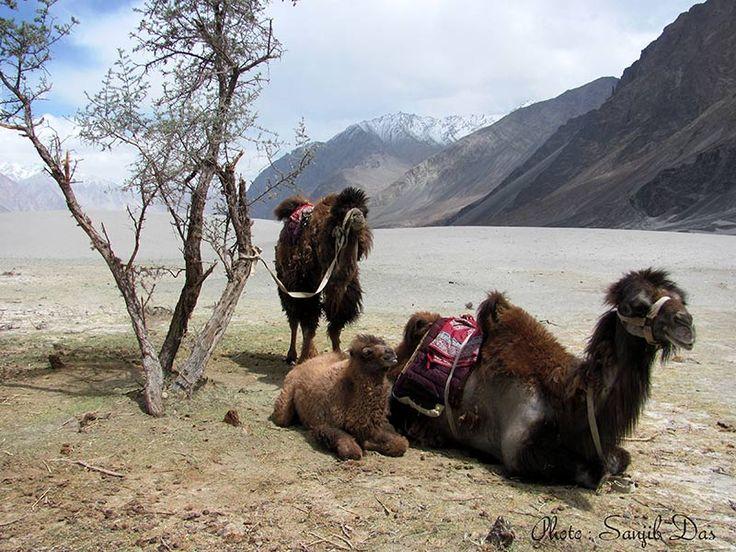 Bactrian camal in Hundar Album: Ladakh - The Forbidden Wilderness Photo Credit: Sanjib Das