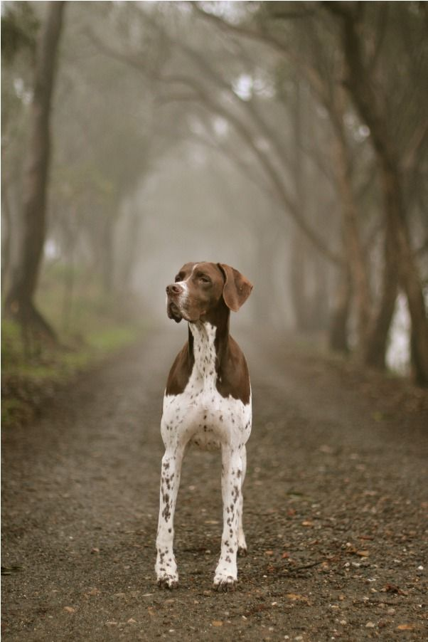Looks a lot like my brother's wonderful hunting dog Sarah.  She is missed!  For Dave!!!