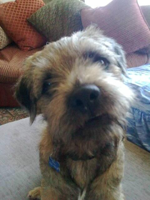 Border Terrier: loyal, energetic, minimal grooming and good with kids :)