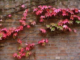 Estas trepadoras son de crecimiento muy rápido. Es una trepadora muy bonita y eficaz para cubrir vallas, paredes, troncos de árboles q...