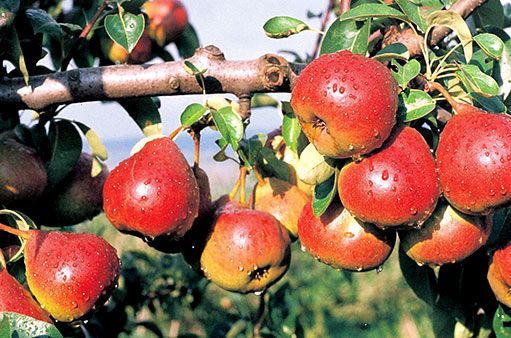 Strupovitost a rzivost u jabloní a hrušní a boj s nimi