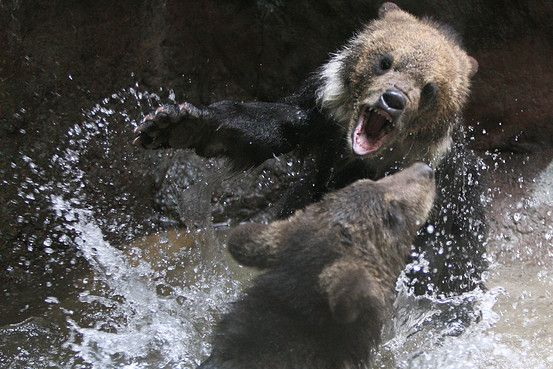 Hokkaido brown bear twin cubs play in the water at Tokyo's Ueno zoo. Associated Press