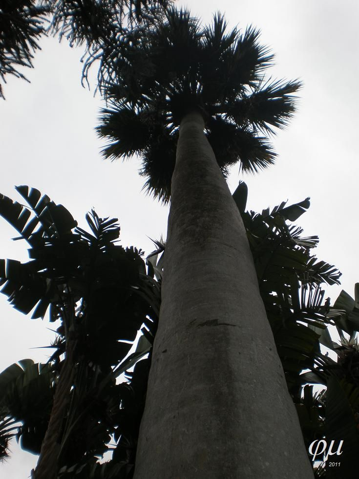 Sabal palmetto umbraculifera