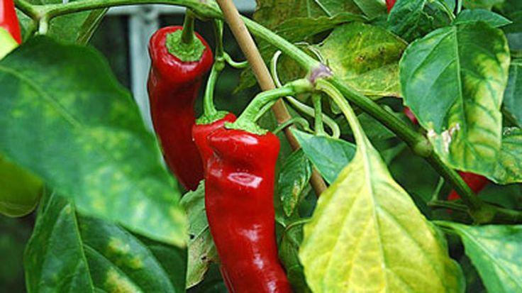 Chili – fra drivhus til chilipasta