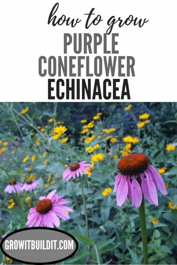 Echinacea Purpurea How To Grow Purple Coneflower In 2020 Gardening For Beginners Echinacea Echinacea Purpurea