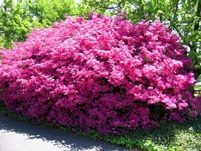 17 best ideas about Azalea Bush on Pinterest Azaleas landscaping