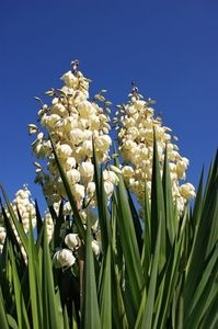 Yucca Plant- fertilize once in spring and prune dead hanging leaves. Cut flower stalks down to ground after flowers die.