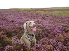 Why the moors are such a great place to walk our dogs? #dogwalking #huddersfield #yorkshire #moorlandwalks #countrylife #dogsofhuddersfield