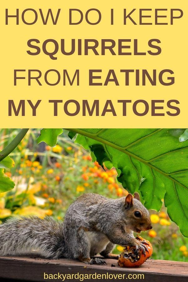 If You Ever Went To Pick Tomatoes From Your Garden And Found None Or Half Eaten Ones You Ll Need To Learn How To Keep Squ Tomato Plants Garden Pests Squirrel