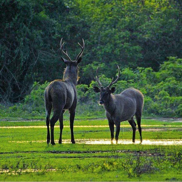 Introducing the lesser known sambar deer