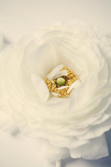 Beautiful white ranunculus
