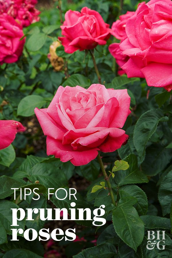 Here S How To Prune Your Roses To Get The Most Blooms And Healthiest Plants Pruning Roses Planting Roses Flower Garden Images
