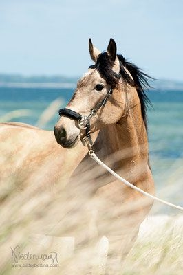 Jabali, Peruvian Paso. Beautiful Buckskin colored horse at the beach. Grass blowing in the wind in front of him makes this look so nostalgic. I love a horse on the beach! Nice horse photography!