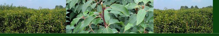 Portugese laurierkers, Prunus lusitanica haagplanten kopen Zoals de naam het al zegt het is een laurierkers, maar geen gewone.  Deze portugese laurierkers heeft fijnere bladeren en is gewoon als de andere laurierkersen groenblijvend.  De bladeren zijn spitsvormig en hebben een iets wat rode bladsteel wat een mooi effect geeft.  Door deze plant minimaal 1 x per jaar te snoeien krijg je een mooie dichte haag.  Het is een sierlijke haagplant
