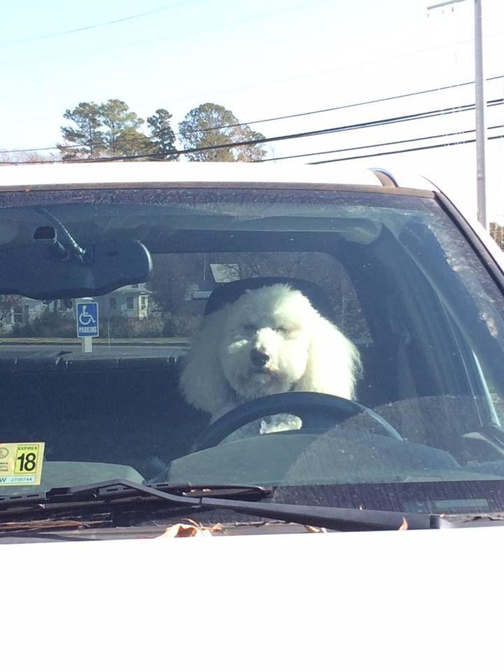 Pierre The Driving Poodle Poodle Pierre Driving