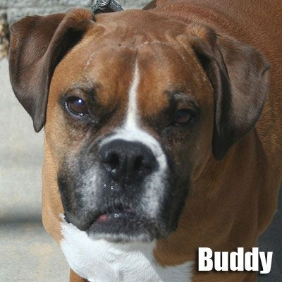 Boxer Puppies for Adoption | Boxer Puppies For Adoption Male And Female Boxer Puppies Ready To Go ...