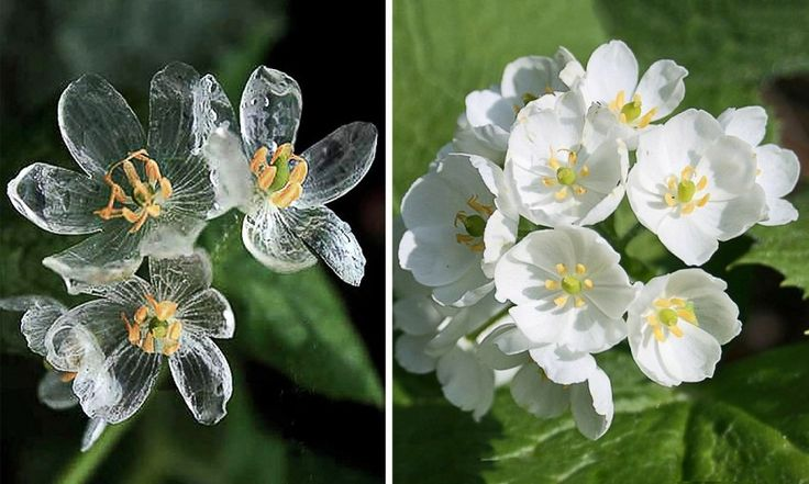 Цветок, становится прозрачным от дождя