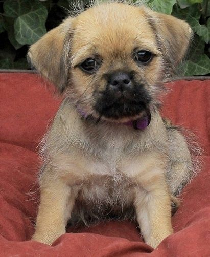 Yorkshire Terrier Pug cross