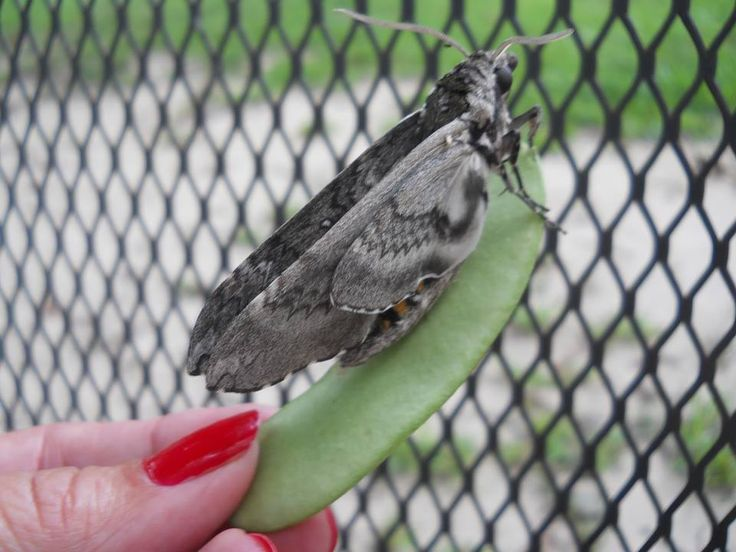 Best 25+ Tomato worm moth ideas on Pinterest Plant pests