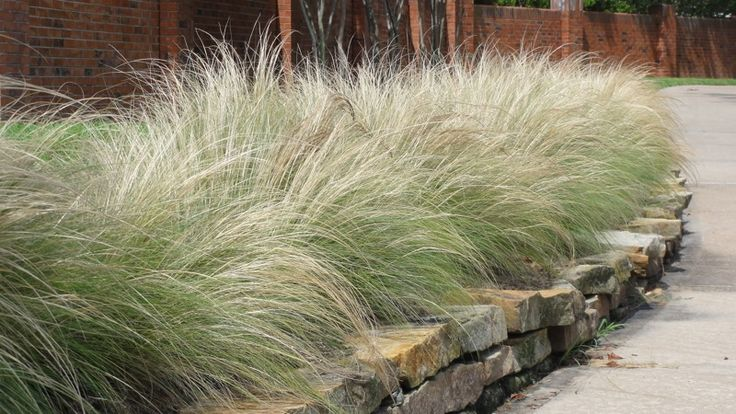 Mexican Feathergrass - drought-tolerant, 1-2' wide, 1-2' tall, sun/part shade, cutting back optional; soft, elegant weeping form; effective individually or in masses