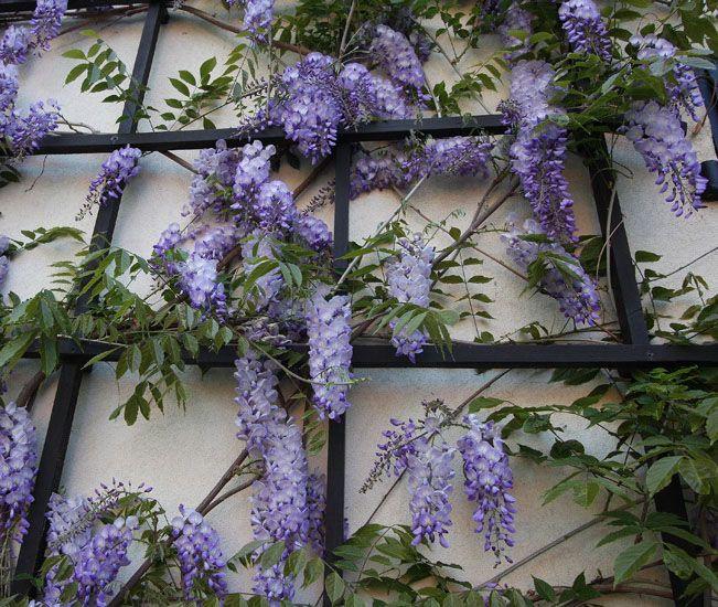 Hoa Tử Đằng được trồng trang trí hàng rào, vòm cổng, leo tường, leo trang trí nhà cao tầng phủ từ dưới lên trên (đến 20cm). Tạo bóng mát che phủ tường mùa hè.