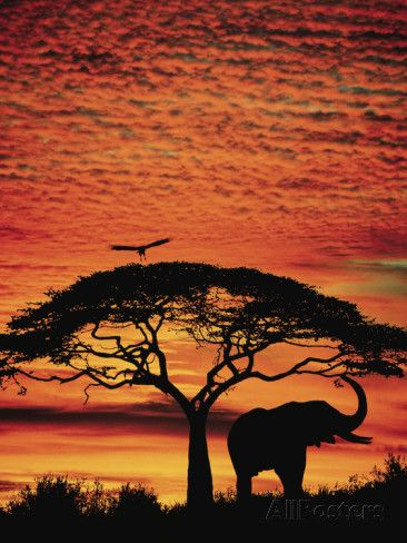 Elephant Under a Tree During a African Sunset. (Art at AllPosters.com).