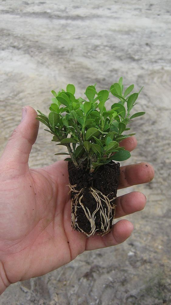 Winter Gem Korean Boxwood Qty 60 Live Plants by JJGardenBoutique