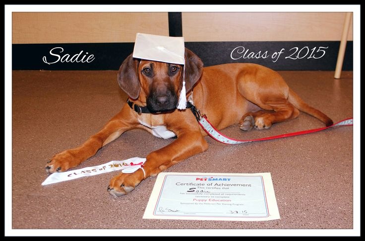 Puppy Training Graduation. Puppy Obedience Class. Rhodesian Ridgeback.