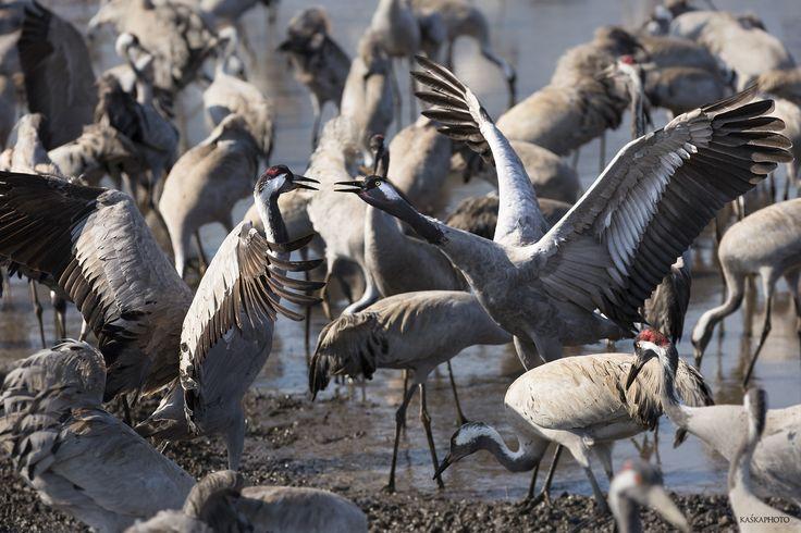 Kaska Photo » Fauna . Hula Lake Park - zdjęcie Kaśka Sikora #rezerwatprzyrody #ptaki #fotografiaptaków #morze KaśkaSikora #Sikora #KatarzynaSikora #Zdjęcia #fotografWarszawa