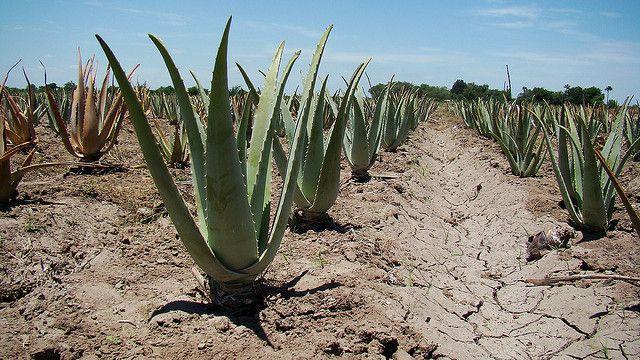 Aloe King Farm Fresh Aloe Vera Juice and Aloe Vera Leaves from www.AloeKing.com in Mercedes, Texas | Flickr - Photo Sharing!
