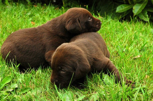 AKC Chocolate Labrador Puppies