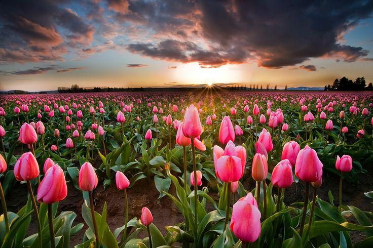 pays bas champs de tulipes colores 131   15 photos dincroyables champs de tulipes colorés   tulipe photo image hollande fleur couleur champ ...