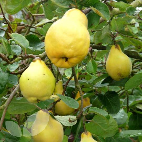78 best images about arboles frutales on pinterest l - Arbol de membrillo ...