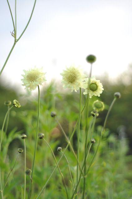 Kæmpe skælhoved (Cephalaria gigantea) - Giant Scabious. Good for the insect friendly garden. Blooms summer. Står i bedet